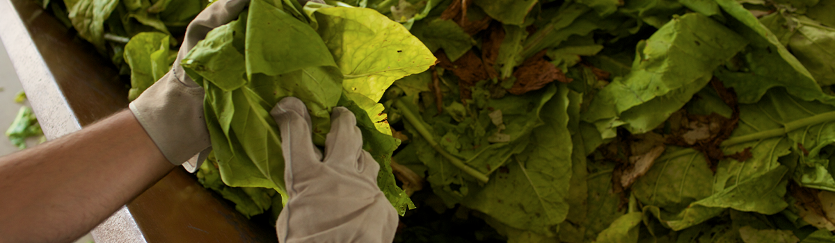 Person wearing work gloves sorting green tobacco leaves