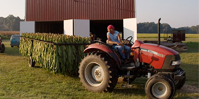 Tractor pulling large quantity of tobacco leaves