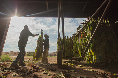 farm workers hanging tobacco leaves on spikes