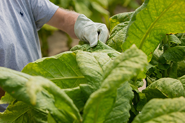 detail of farmer wearing gloves holding mature tobacco leaf