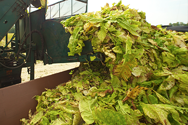 detail of tobacco being harvested from field