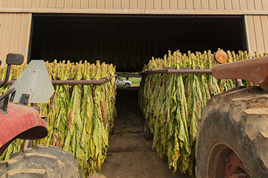 hanging tobacco leaves being loaded into curing barn by tractors