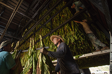 farm workers housing hanging tobacco to top of barn