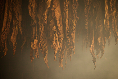 detail of hanging dried tobacco leaves among smoke