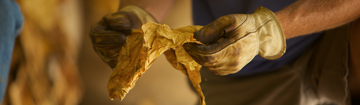 Man wearing work gloves inspecting tobacco leaf